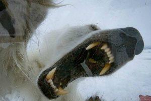 Urso Polar Tenta Atacar Operador De Câmara 10