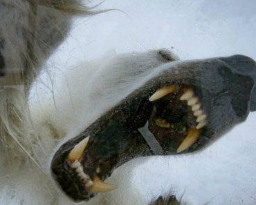 Urso Polar Tenta Atacar Operador De Câmara 1