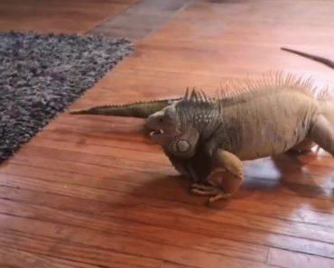 Iguana Tenta Aniquilar Peluche Em Forma De Iguana 5