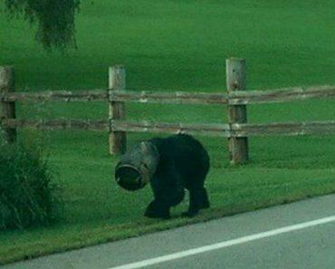 Grupo Corajoso Aproxima-se De Urso Selvagem Para Remover Balde Preso Na Cabeça 2