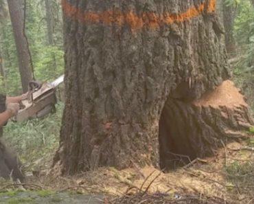 Lenhador Tem Surpresa Desagradável Enquanto Corta Árvore 4