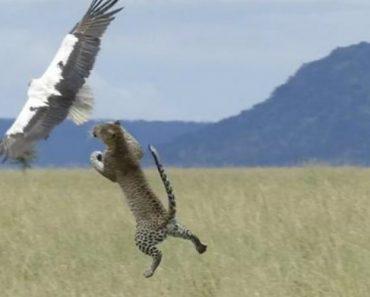Ave Escapa Das Garras De Leopardo No Último Instante 8