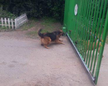 Só Um Portão é Que Impediu Estes Cães Mostrarem a Sua Valentia 9