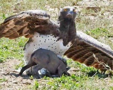 Visitante De Safari Filma Momento Em Que Águia Captura Pequeno Javali 9