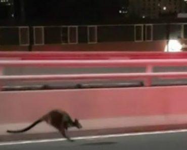 Polícia Australiana Persegue Canguru Na Ponte De Sydney 7