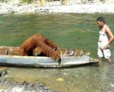 Orangotango Apodera-se De Canoa e Fica Profundamente Irritado Quando o Proprietário Tenta Recuperá-la 9