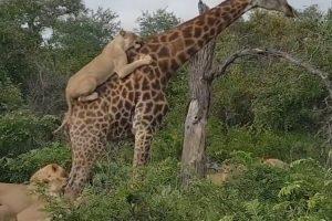 Leões Penduram-se Em Girafa Para Tentar Caçá-la 10