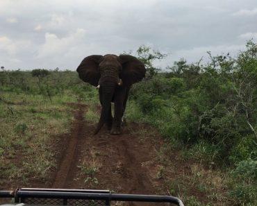 Elefante Demonstra a Sua Irritação Atirando Tronco Contra Grupo De Turistas 1