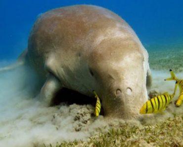 Conhecido Como Vaca Do Mar, Este Animal é o Único Mamífero Marinho Herbívoro 2