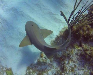 Mergulhador Remove Faca De Cozinha Espetada Na Cabeça De Um Tubarão 2