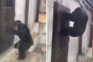 Chimpanzé Desesperado Por Sair Tenta Abrir a Porta Da Sua Jaula 9