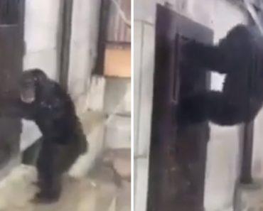 Chimpanzé Desesperado Por Sair Tenta Abrir a Porta Da Sua Jaula 1