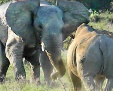 """Elefante """"Malabarista"""" Equilibra Pau Em Cima Da Cabeça Para Intimidar Rinoceronte 5"""