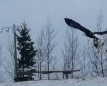 Águia Tem Dificuldade Em Voar Depois De Capturar Pesado Gato 6