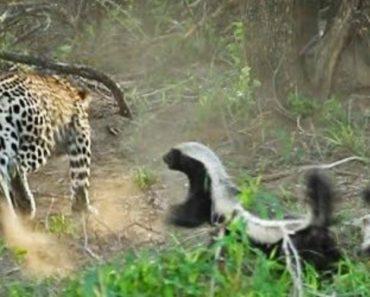 Ratel Confronta Leopardo Para Defender a Sua Cria 1