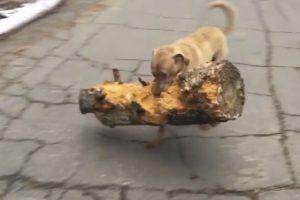 Ambicioso Cão Escolhe o Maior e Mais Pesado Tronco Que Encontra Para Brincar Com o Dono 10