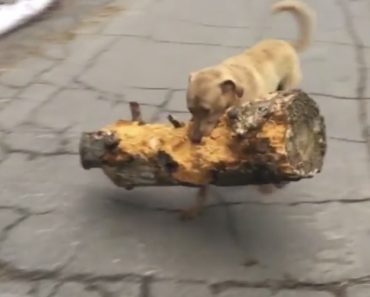 Ambicioso Cão Escolhe o Maior e Mais Pesado Tronco Que Encontra Para Brincar Com o Dono 3