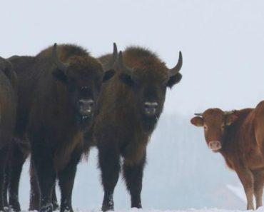 Vaca Foge De Quinta Para Ir Viver Com Bisontes 5
