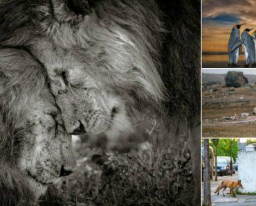 Momento De Ternura Entre Leões Vence Fotografia Do Ano De Vida Selvagem 3
