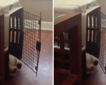 Bulldog Inglês Descobre Bizarra Forma De Se Divertir 6