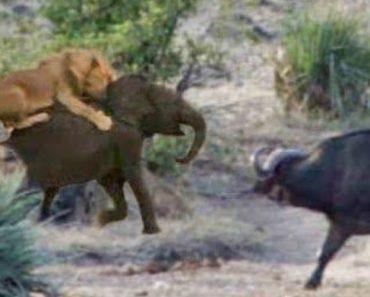 Búfalos Enfrentam Leões Para Salvar Cria De Elefante 8