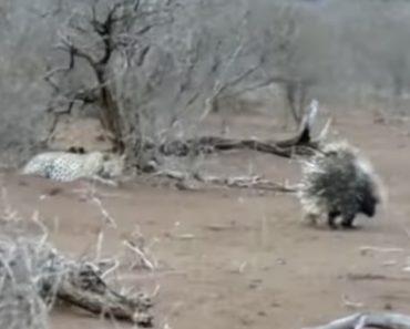 Leopardo Aprende Dura Lição Depois De Tentar Atacar Dois Porcos-Espinhos 3