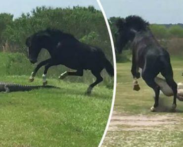 Cavalo Sente-se Incomodado Com a Presença De Crocodilo e Ataca-o Sem Hesitar 5