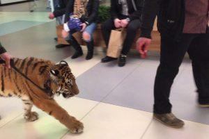 Tigre é Levado a Fazer Um Passeio No Interior De Centro Comercial Na Presença De Clientes 10