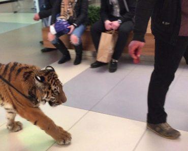 Tigre é Levado a Fazer Um Passeio No Interior De Centro Comercial Na Presença De Clientes 4