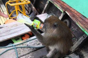 Macaco Salta Para Barco De Turistas e Tem Mais Interesse Em Roubar-lhes o Álcool Do Que Os Cocos 10