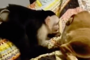 Macaco Impiedoso Enfia Dedo Dentro Do Traseiro De Cão Desprevenido 10