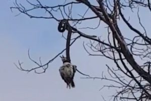 Cobra Estrangula Pássaro Do Topo De Árvore 10