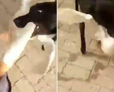 Cão Protege Dono De Ser Atacado Por Ganso 2