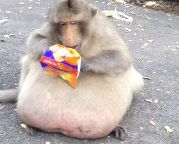 Macaco Obeso Alimentado Por Turistas é Levado Para Check-Up 3