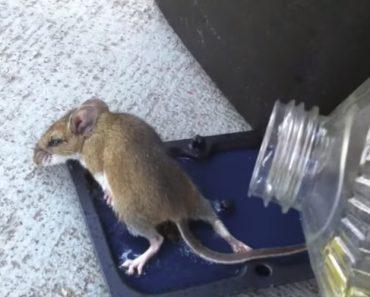 Homem Esforça-se Para Libertar Rato De Armadilha Com Cola Usando Óleo, Mas Não Termina Bem Para Ele 6