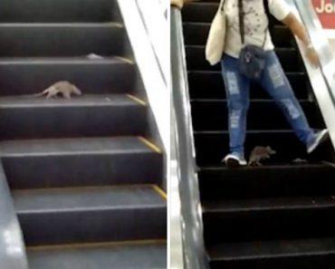 Clientes Gritam De Medo Ao Cruzarem-se Com Rato Nas Escadas Rolantes De Centro Comercial 1
