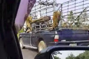 Macacos Aproveitam Viagem Grátis Ao Pendurarem-se Na Traseira De Veículo 10