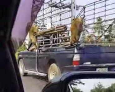 Macacos Aproveitam Viagem Grátis Ao Pendurarem-se Na Traseira De Veículo 3