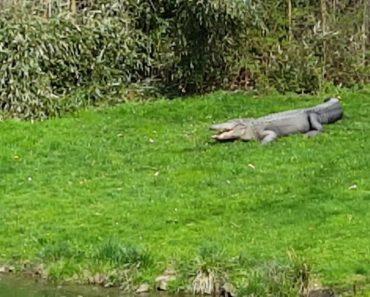 Destemido Cão Da Pradaria Desafia a Sorte Ao Sentar-se Na Cabeça De Adormecido Crocodilo 2