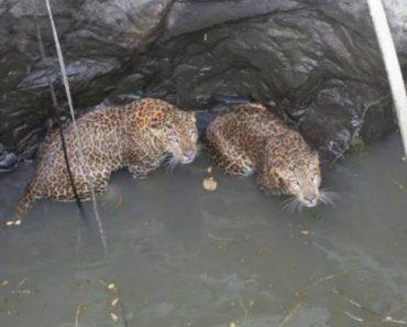Vídeo Capta Momento Em Que 2 Leopardos São Resgatados Do Fundo Do Poço 1