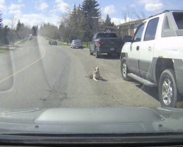 Cão Cai Da Janela Do Carro Em Andamento Ao Distrair-se Com a Presença De Outro Cão 2