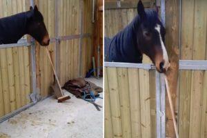 Cavalo Dá Uma Ajudinha Na Limpeza Do Estábulo 10