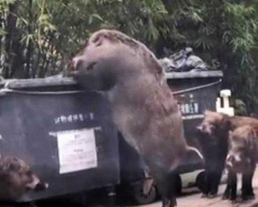 "Javali ""Gigante"" Faz Furor Junto De Internautas De Hong Kong 5"