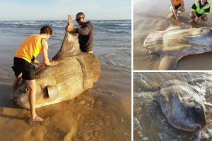 Enorme Peixe-lua Foi Encontrado Em Praia Australiana 8