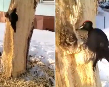 Pica-pau Passa 4 Dias Seguidos a Perfurar a Mesma Árvore 9