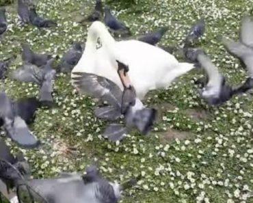 Agressivo Cisne Não Aceita Nada Bem a Presença Dos Pombos Na Hora Da Refeição 4