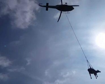 Vaca Levanta Voo Ao Ser Resgatada Por Helicóptero Dos Bombeiros 8