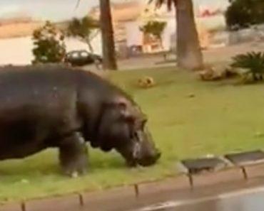 Automobilistas Filmam Momento Em Que Se Cruzam Com Hipopótamo a Pastar Numa Rotunda 6
