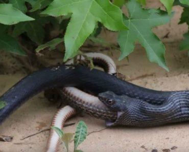Vídeo Mostra Cobra Expelir Outra Cobra Viva 9