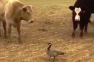 Pato Corajoso Não Se Deixa Assustar Com Rebanho De Vacas 9